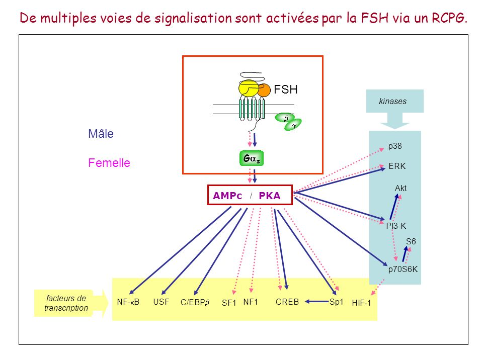 De multiples voies de signalisation sont activées par la FSH via un RCPG.