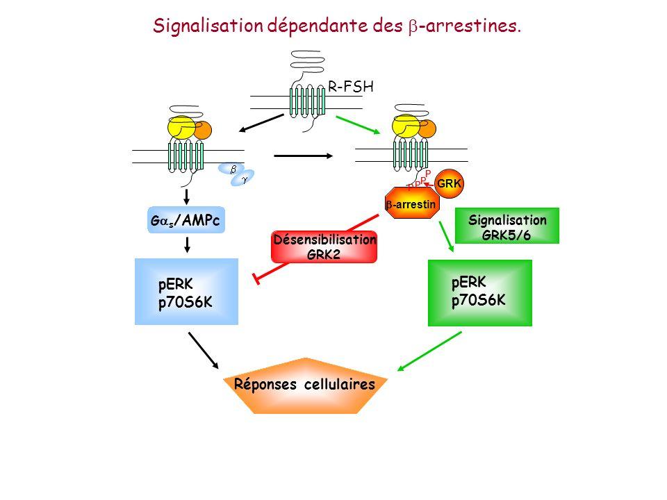 Signalisation dépendante des b-arrestines.