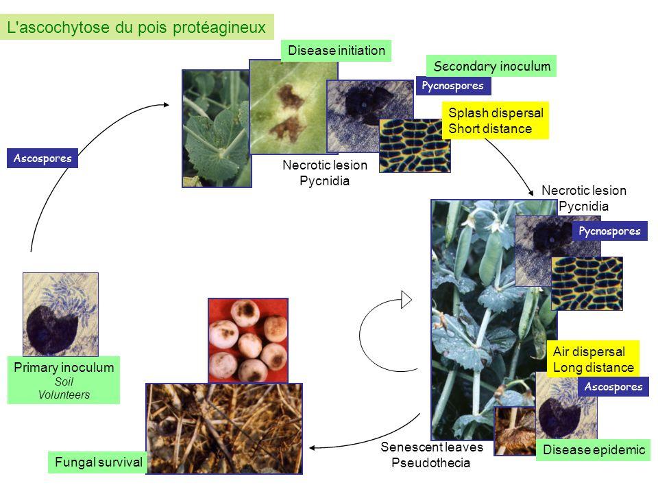 L ascochytose du pois protéagineux