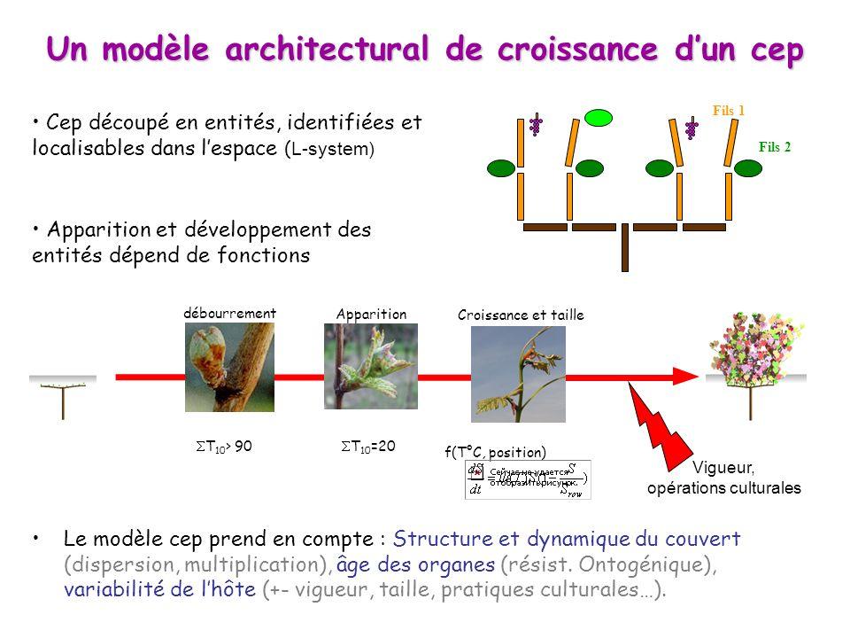 Un modèle architectural de croissance d'un cep