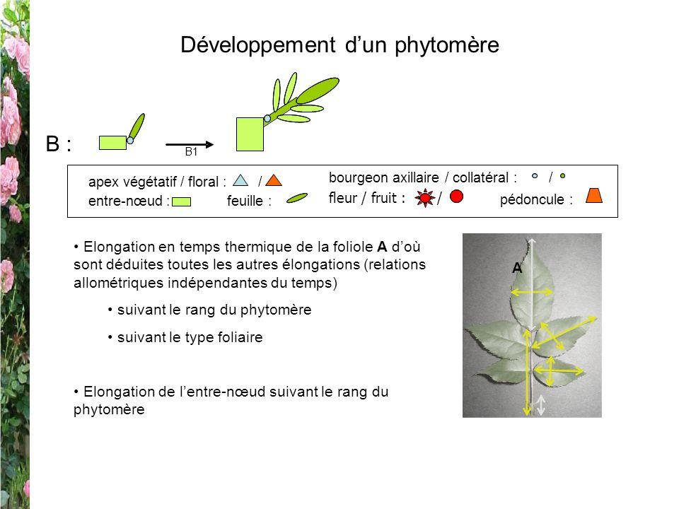 Développement d'un phytomère