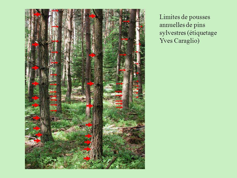 Limites de pousses annuelles de pins sylvestres (étiquetage Yves Caraglio)