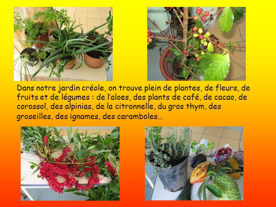 Dans notre jardin créole, on trouve plein de plantes, de fleurs, de fruits et de légumes : de l'aloes, des plants de café, de cacao, de corossol, des alpinias, de la citronnelle, du gros thym, des groseilles, des ignames, des caramboles…