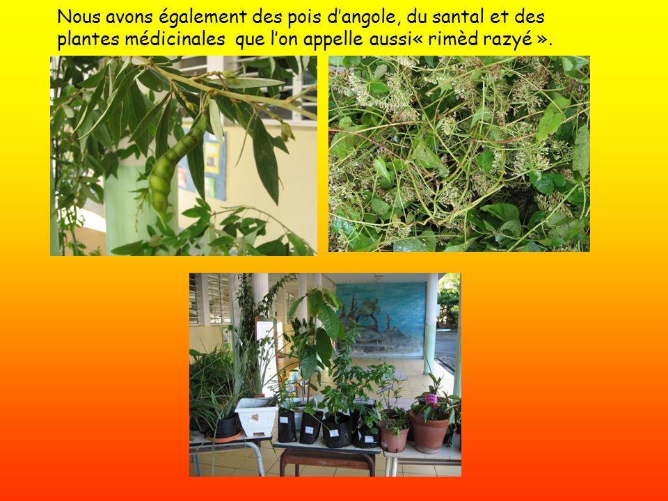 Nous avons également des pois d'angole, du santal et des plantes médicinales que l'on appelle aussi« rimèd razyé ».