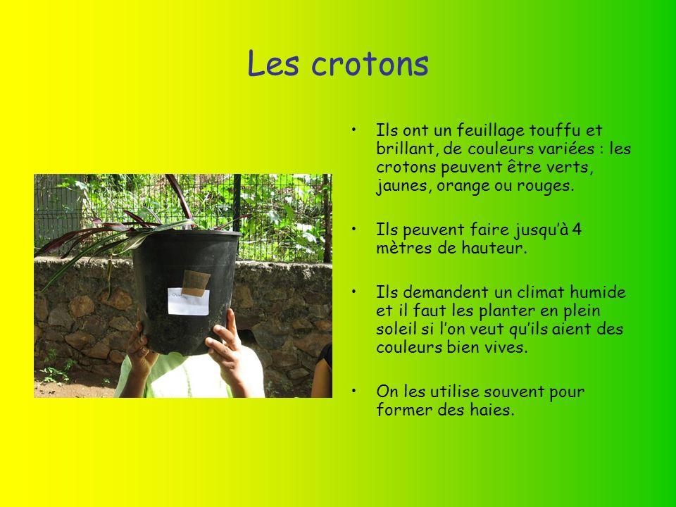 Les crotons Ils ont un feuillage touffu et brillant, de couleurs variées : les crotons peuvent être verts, jaunes, orange ou rouges.