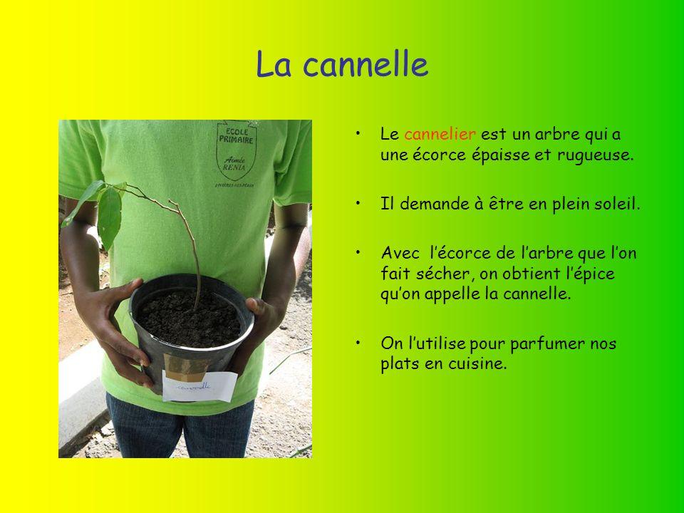 La cannelle Le cannelier est un arbre qui a une écorce épaisse et rugueuse. Il demande à être en plein soleil.
