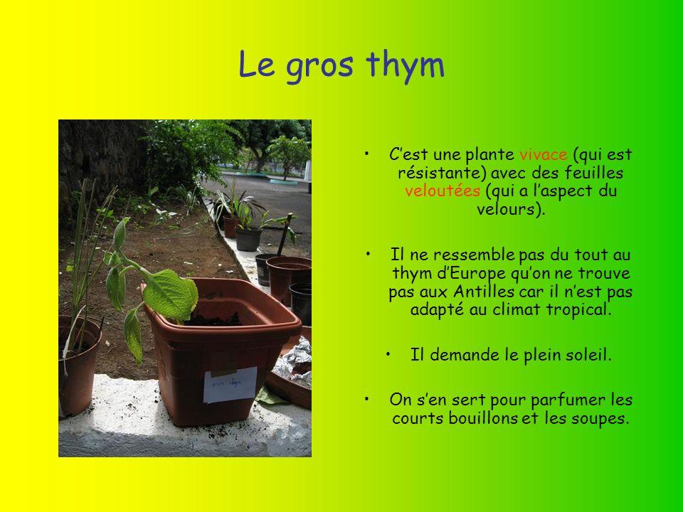 Le gros thym C'est une plante vivace (qui est résistante) avec des feuilles veloutées (qui a l'aspect du velours).