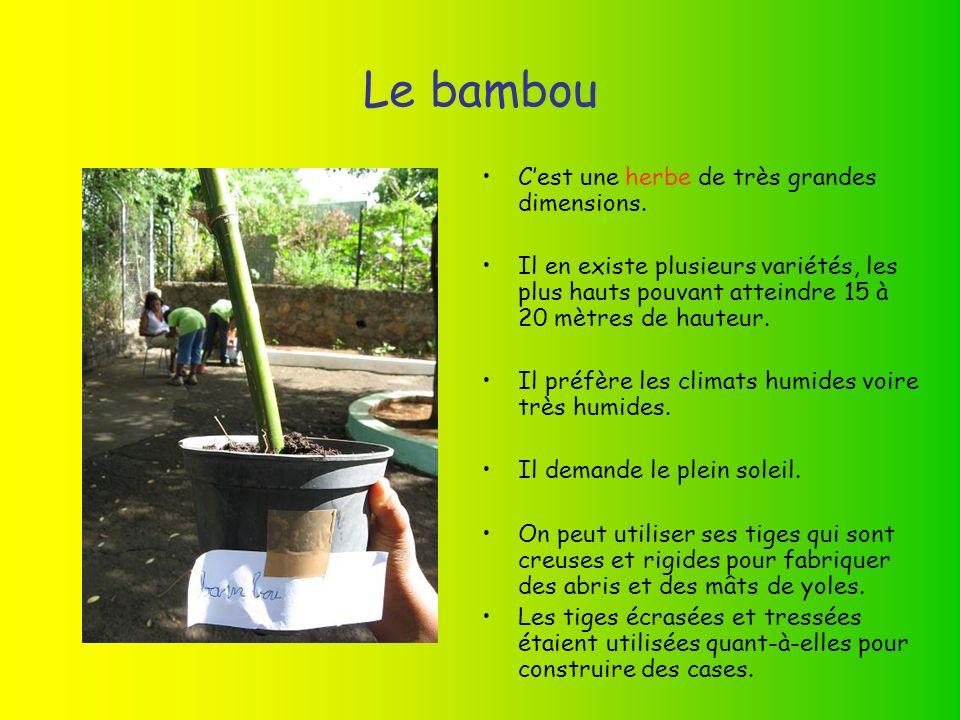 Le bambou C'est une herbe de très grandes dimensions.