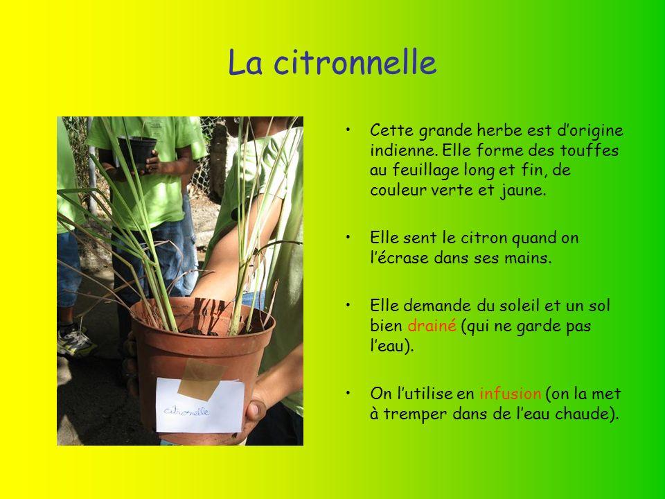 La citronnelle Cette grande herbe est d'origine indienne. Elle forme des touffes au feuillage long et fin, de couleur verte et jaune.