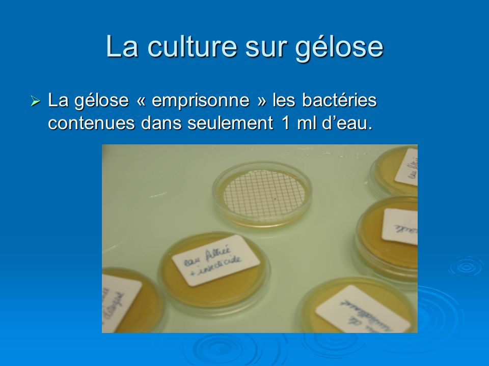 La culture sur gélose La gélose « emprisonne » les bactéries contenues dans seulement 1 ml d'eau.