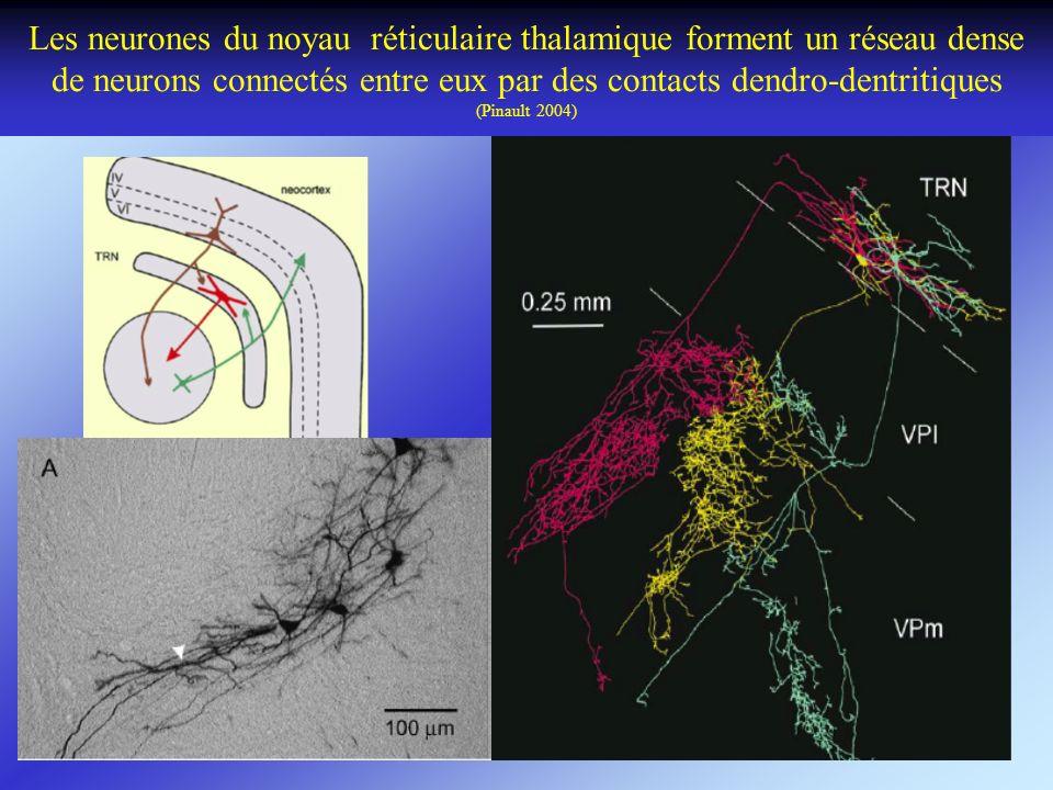 Les neurones du noyau réticulaire thalamique forment un réseau dense de neurons connectés entre eux par des contacts dendro-dentritiques (Pinault 2004)