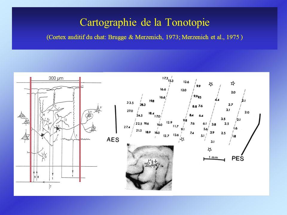 Cartographie de la Tonotopie (Cortex auditif du chat: Brugge & Merzenich, 1973; Merzenich et al., 1975 )