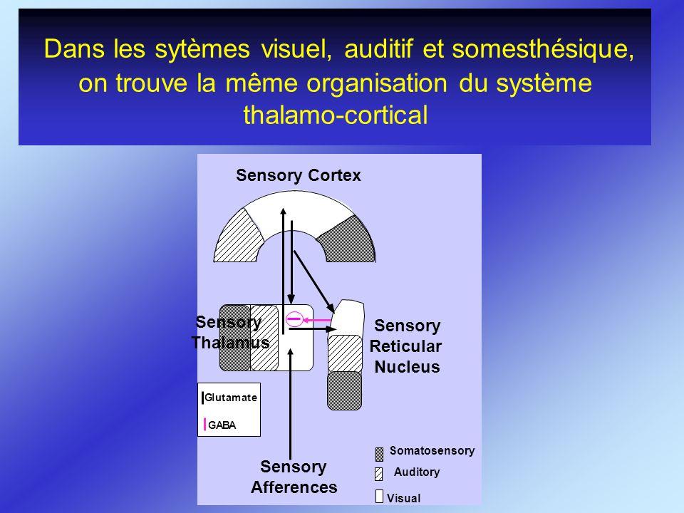 Dans les sytèmes visuel, auditif et somesthésique, on trouve la même organisation du système thalamo-cortical
