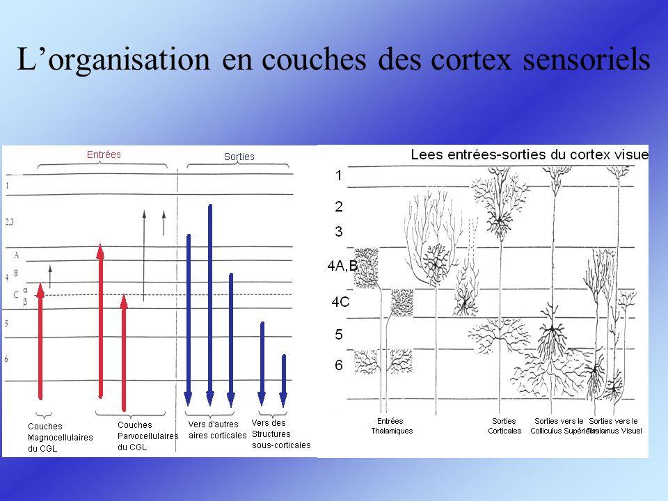 L'organisation en couches des cortex sensoriels