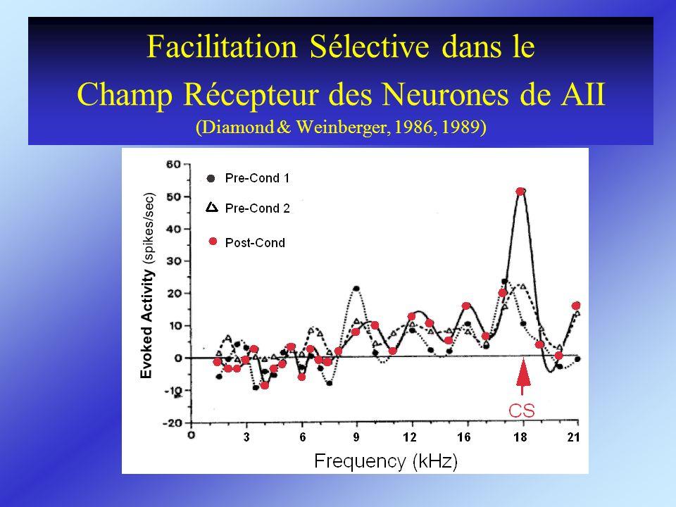 Facilitation Sélective dans le Champ Récepteur des Neurones de AII (Diamond & Weinberger, 1986, 1989)