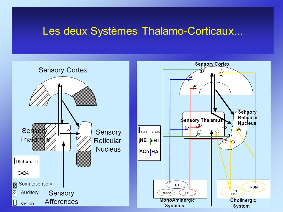 Les deux Systèmes Thalamo-Corticaux...