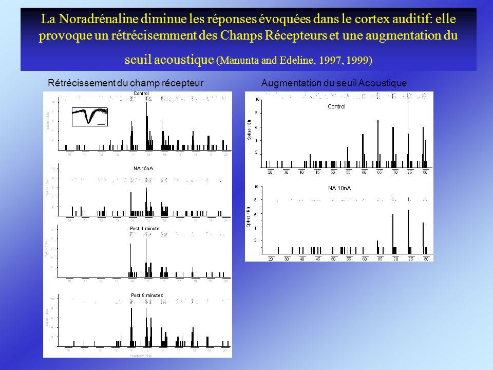 La Noradrénaline diminue les réponses évoquées dans le cortex auditif: elle provoque un rétrécisemment des Chanps Récepteurs et une augmentation du seuil acoustique (Manunta and Edeline, 1997, 1999)