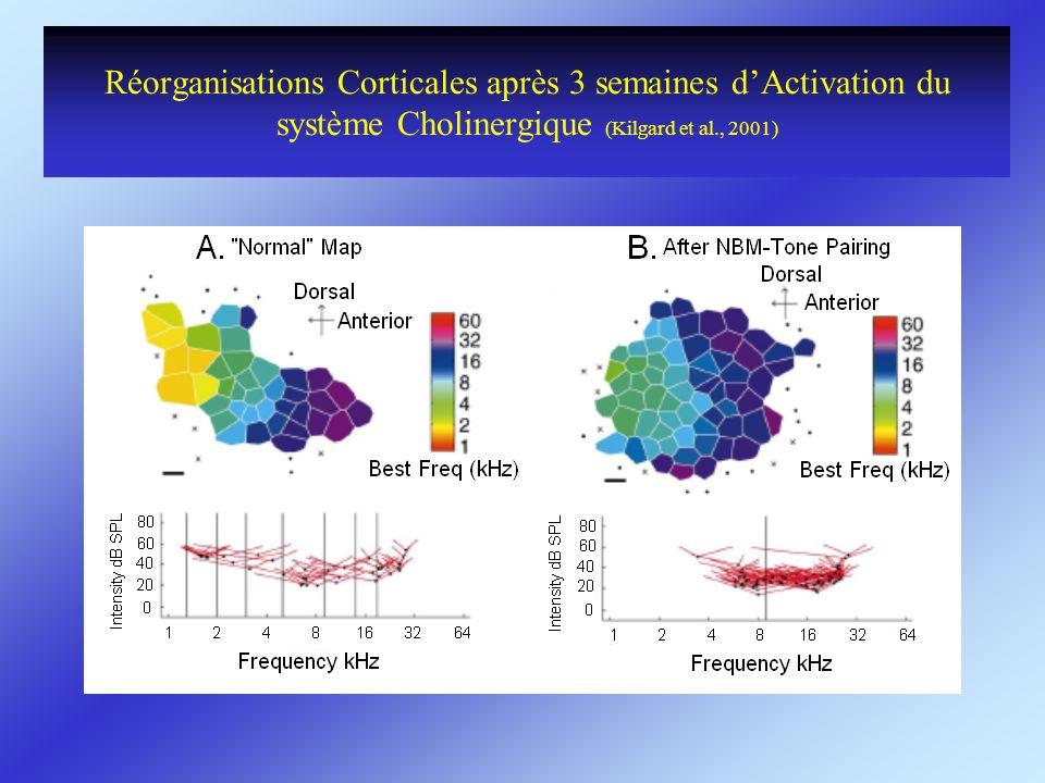 Réorganisations Corticales après 3 semaines d'Activation du système Cholinergique (Kilgard et al., 2001)