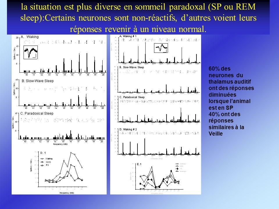 la situation est plus diverse en sommeil paradoxal (SP ou REM sleep):Certains neurones sont non-réactifs, d'autres voient leurs réponses revenir à un niveau normal.