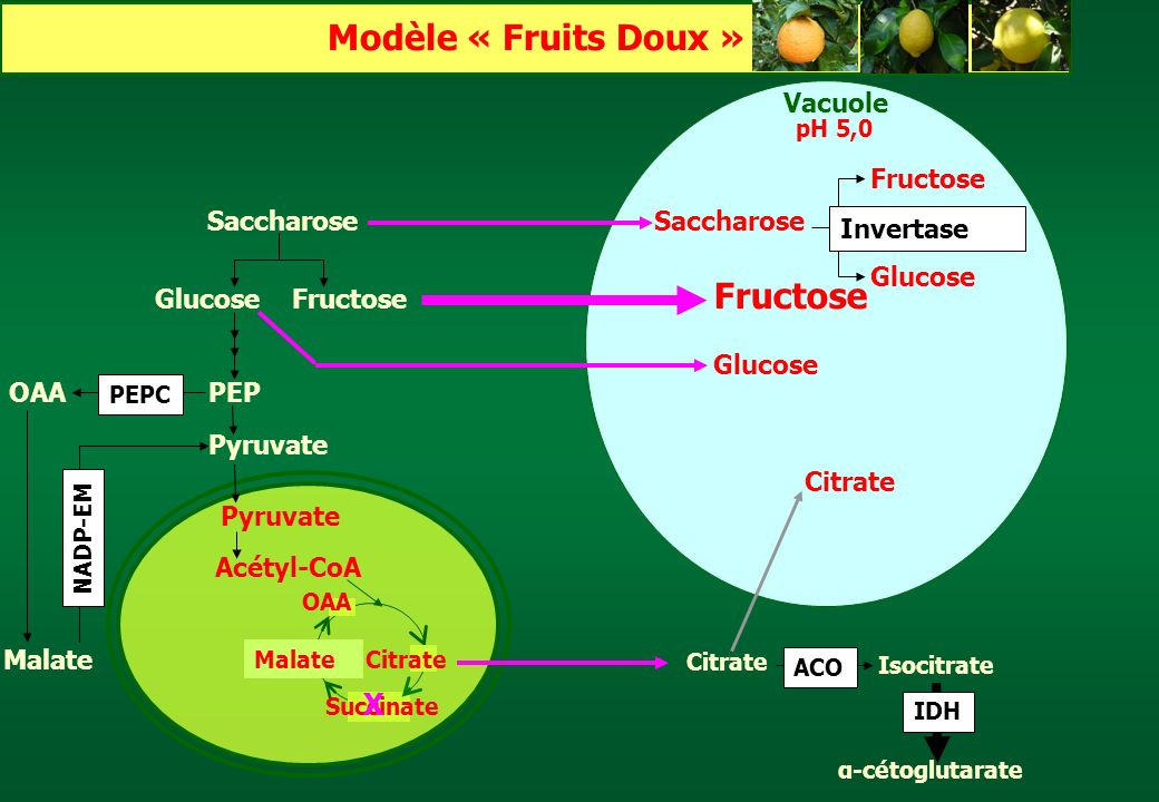 Modèle « Fruits Doux » Fructose X Vacuole Citrate Fructose Saccharose