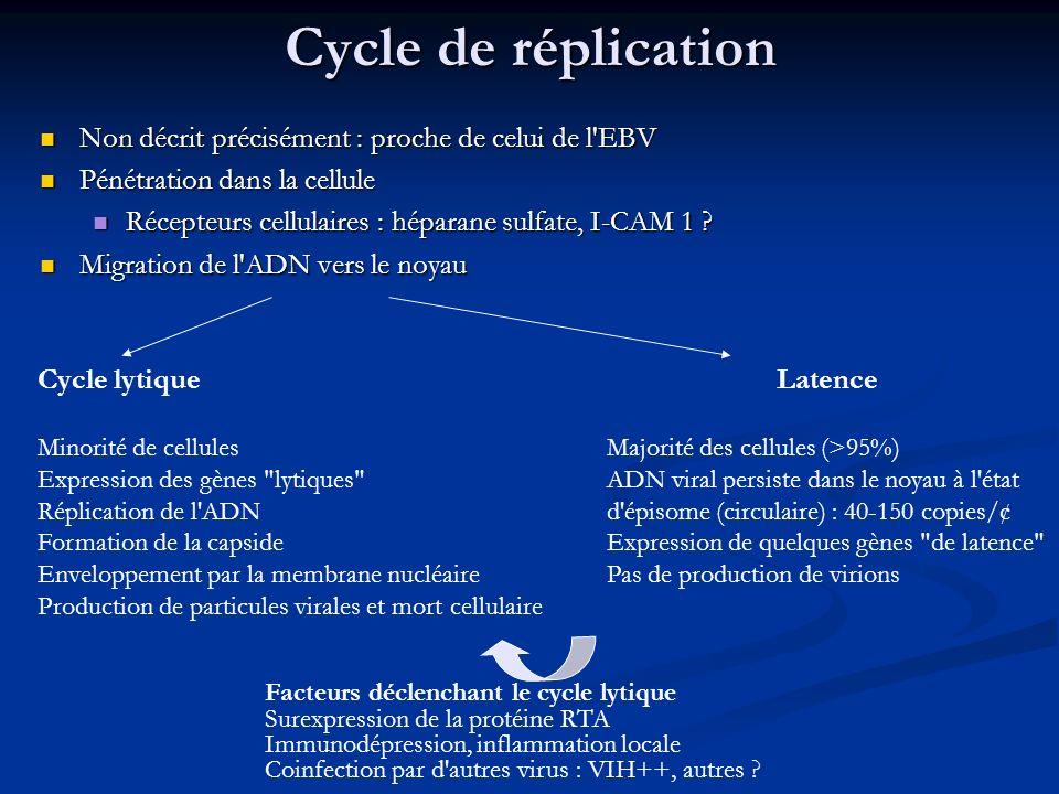 Cycle de réplication Non décrit précisément : proche de celui de l EBV