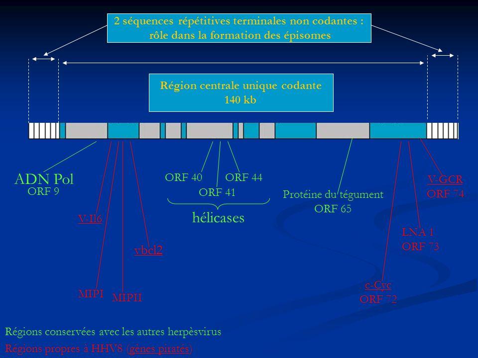 2 séquences répétitives terminales non codantes :