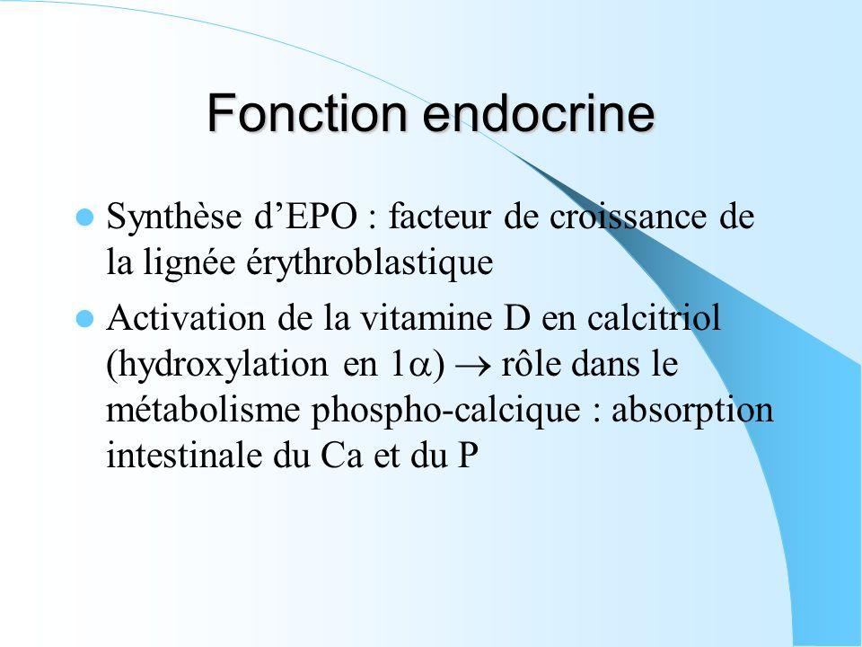 Fonction endocrine Synthèse d'EPO : facteur de croissance de la lignée érythroblastique.