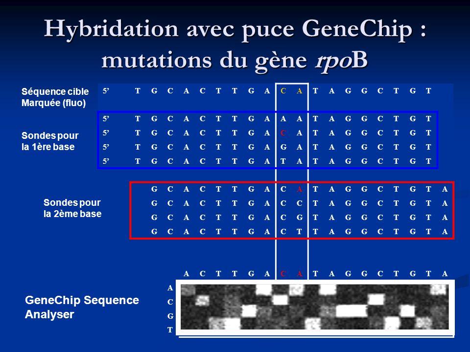Hybridation avec puce GeneChip : mutations du gène rpoB