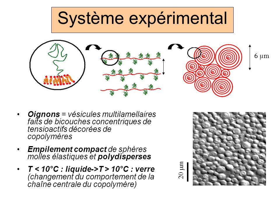 Système expérimental 6 µm. Oignons = vésicules multilamellaires faits de bicouches concentriques de tensioactifs décorées de copolymères.