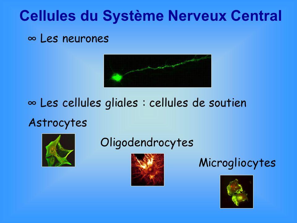 Cellules du Système Nerveux Central