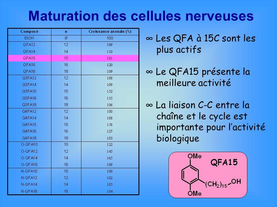 Maturation des cellules nerveuses