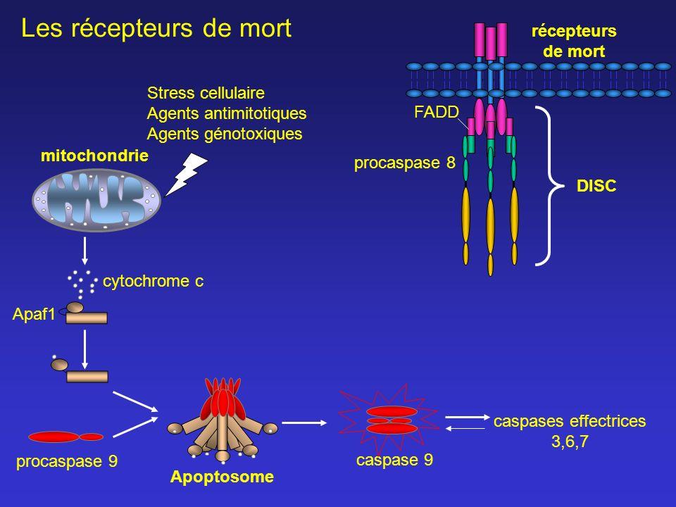 Les récepteurs de mort récepteurs de mort Stress cellulaire