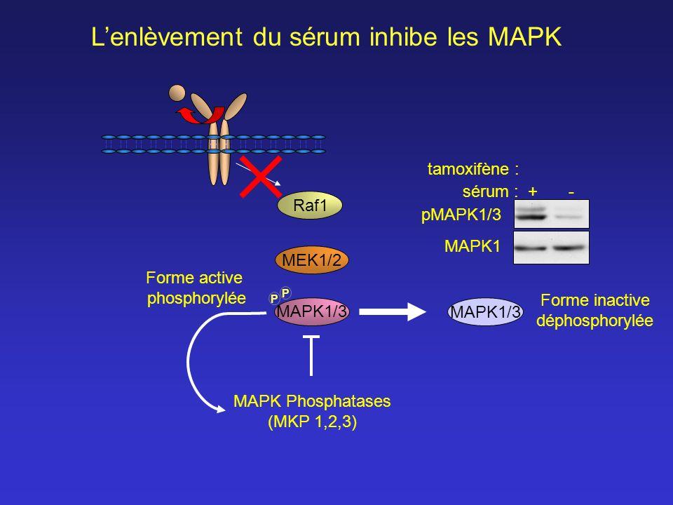 L'enlèvement du sérum inhibe les MAPK