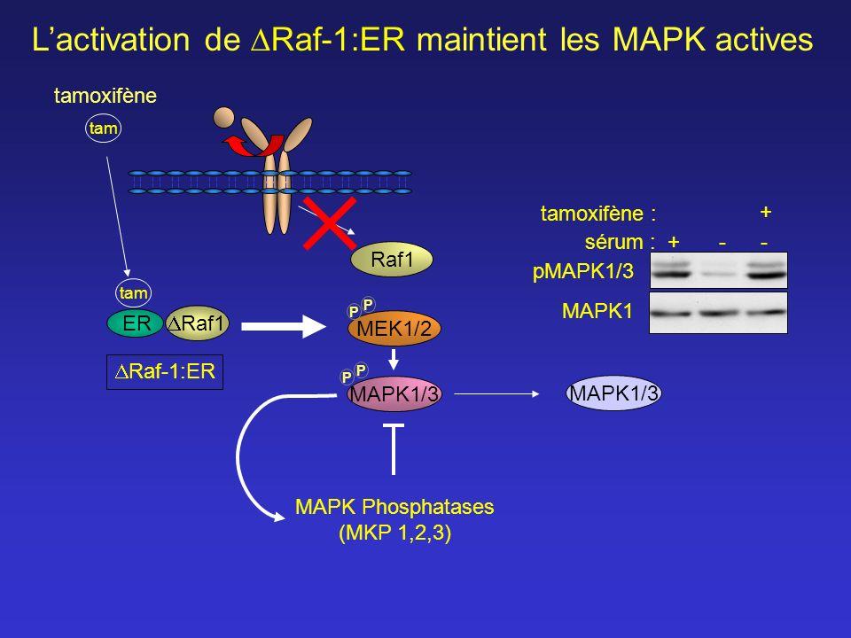 L'activation de Raf-1:ER maintient les MAPK actives