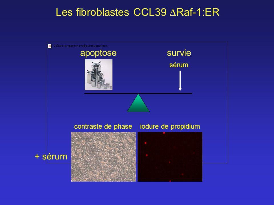 Les fibroblastes CCL39 Raf-1:ER