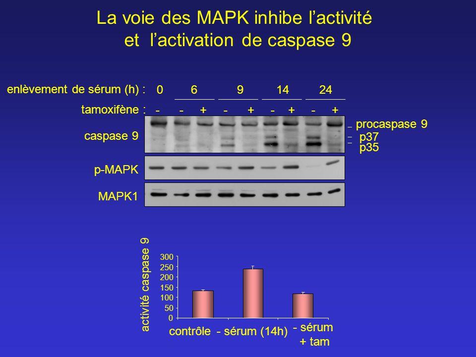 La voie des MAPK inhibe l'activité et l'activation de caspase 9