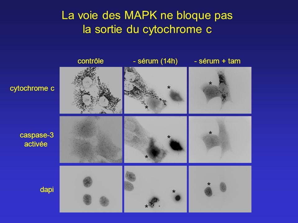 La voie des MAPK ne bloque pas la sortie du cytochrome c