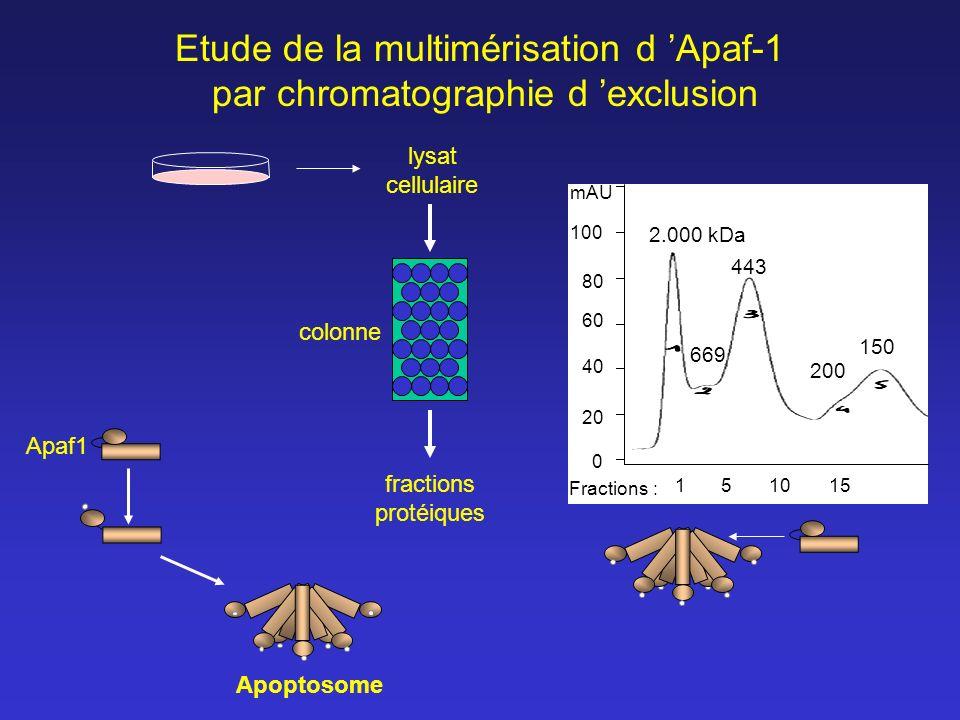 Etude de la multimérisation d 'Apaf-1 par chromatographie d 'exclusion