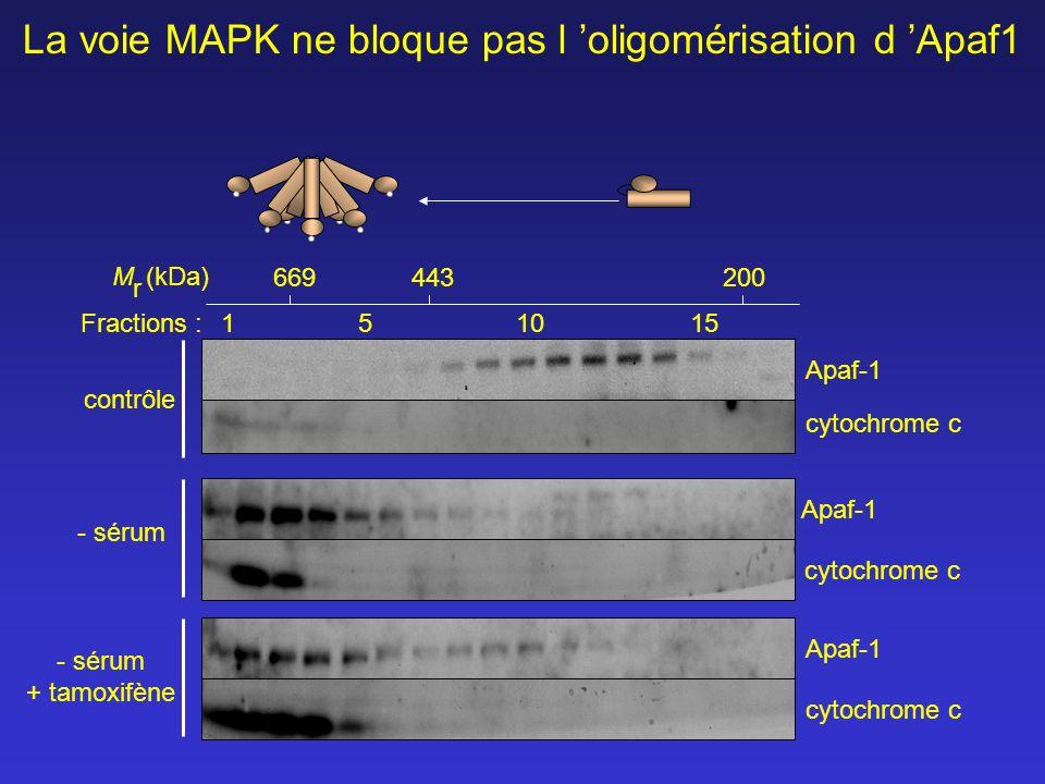 La voie MAPK ne bloque pas l 'oligomérisation d 'Apaf1