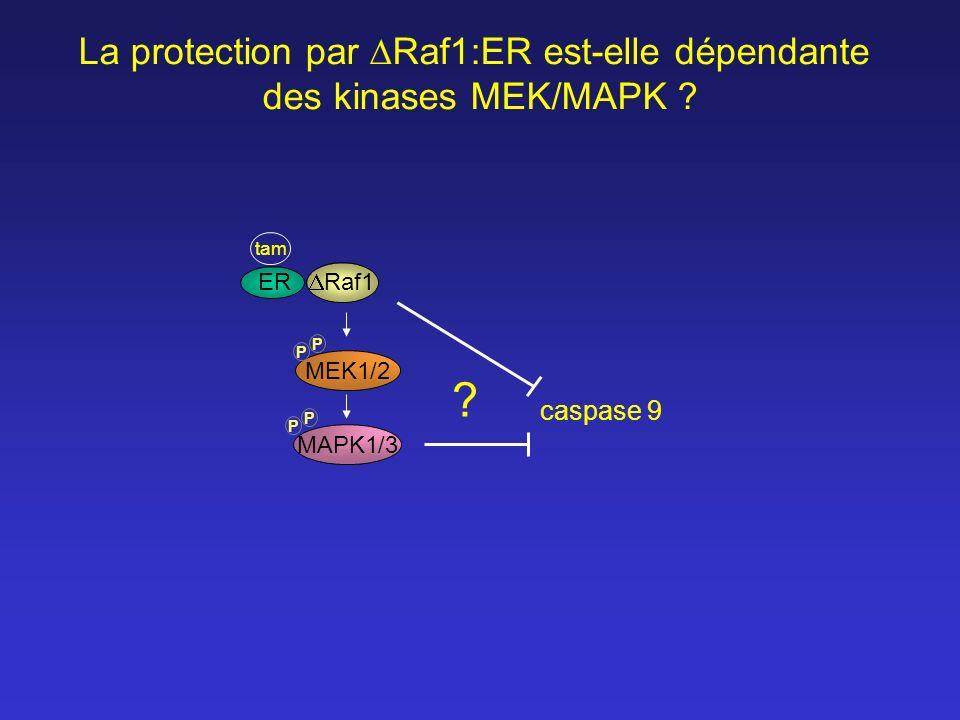 La protection par Raf1:ER est-elle dépendante