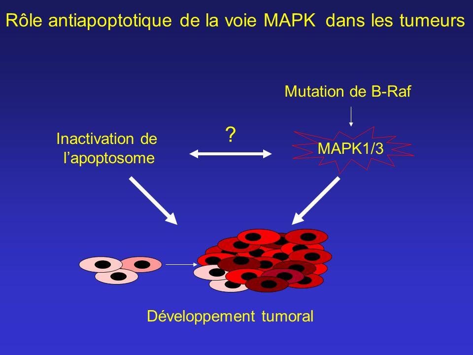 Rôle antiapoptotique de la voie MAPK dans les tumeurs