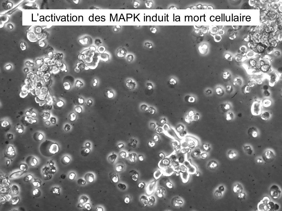 L'activation des MAPK induit la mort cellulaire