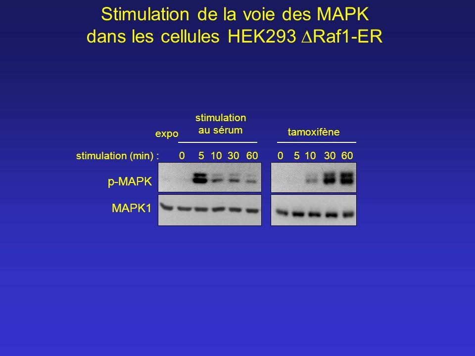 Stimulation de la voie des MAPK dans les cellules HEK293 Raf1-ER