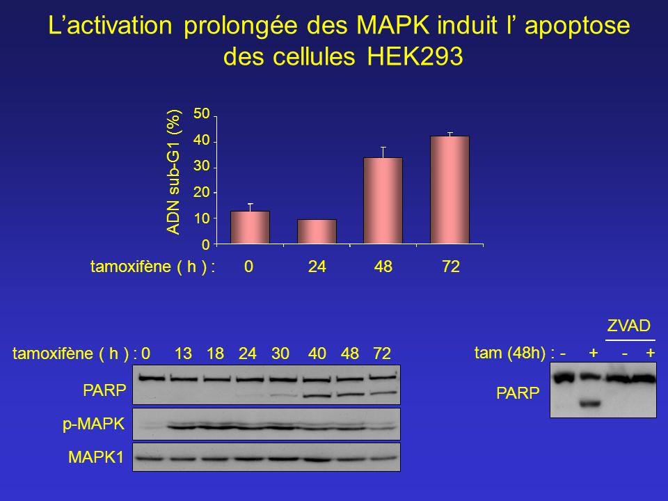 L'activation prolongée des MAPK induit l' apoptose