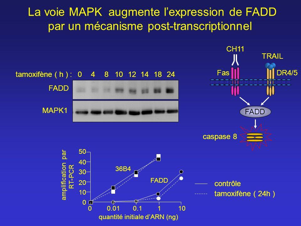La voie MAPK augmente l'expression de FADD