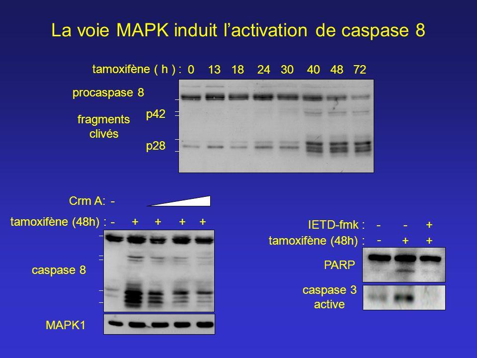 La voie MAPK induit l'activation de caspase 8