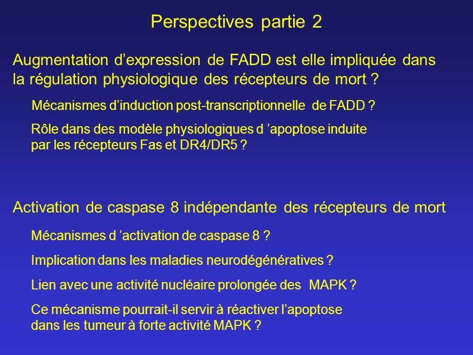 Perspectives partie 2 Augmentation d'expression de FADD est elle impliquée dans. la régulation physiologique des récepteurs de mort