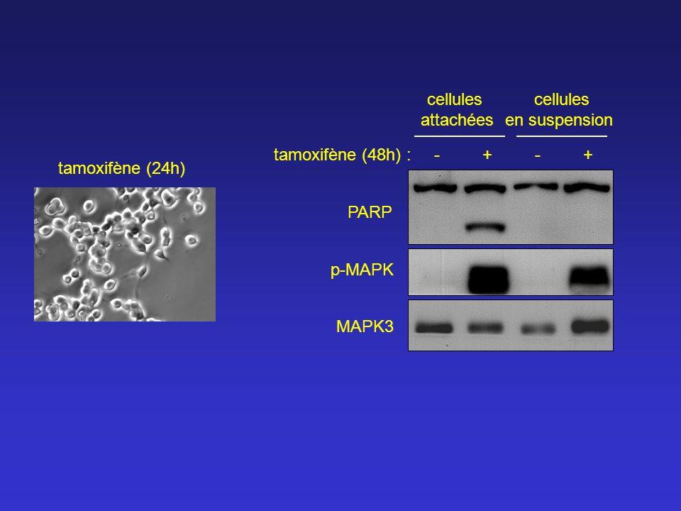 cellules attachées. cellules. en suspension. tamoxifène (48h) : - + - +