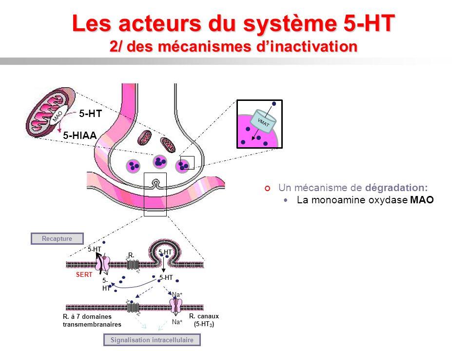 Les acteurs du système 5-HT 2/ des mécanismes d'inactivation
