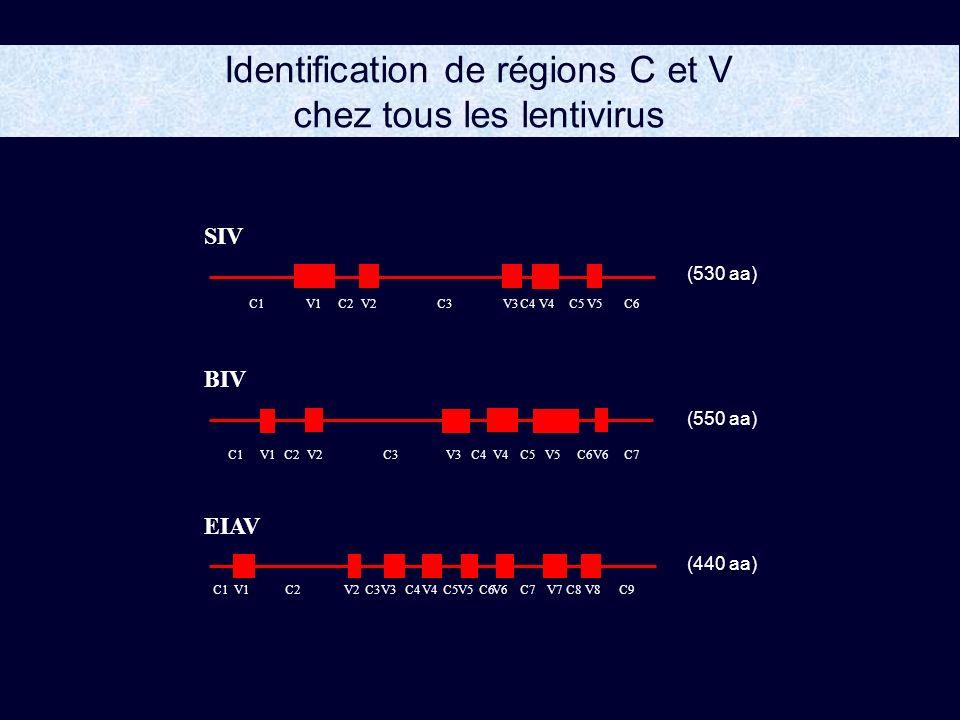 Identification de régions C et V chez tous les lentivirus